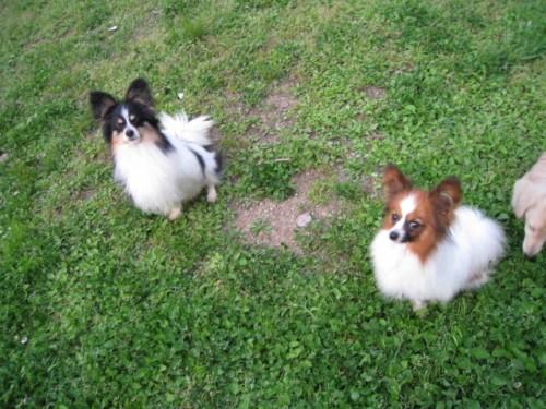 パピヨンの子犬(ID:1252511072)の3枚目の写真/更新日:2017-08-01