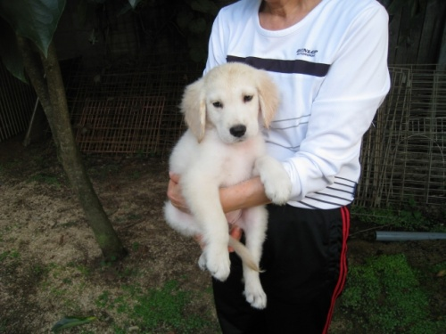 ゴールデンレトリバーの子犬(ID:1252511073)の2枚目の写真/更新日:2017-08-22