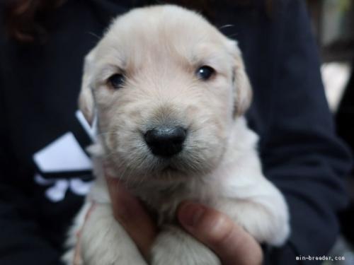 ゴールデンレトリバーの子犬(ID:1252511074)の2枚目の写真/更新日:2017-08-22
