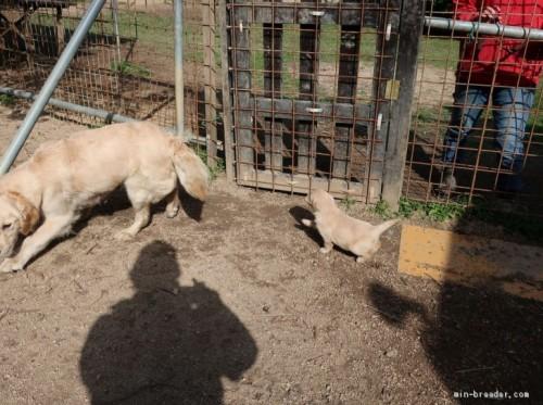 ゴールデンレトリバーの子犬(ID:1252511074)の3枚目の写真/更新日:2021-03-22