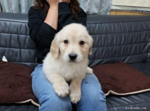 ゴールデンレトリバーの子犬(ID:1252511075)の1枚目の写真/更新日:2021-04-13