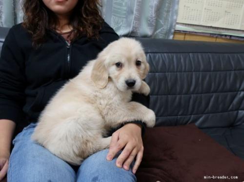 ゴールデンレトリバーの子犬(ID:1252511075)の2枚目の写真/更新日:2021-04-13