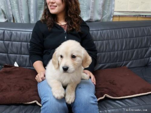 ゴールデンレトリバーの子犬(ID:1252511075)の3枚目の写真/更新日:2021-04-13
