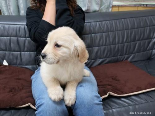ゴールデンレトリバーの子犬(ID:1252511075)の4枚目の写真/更新日:2021-04-13