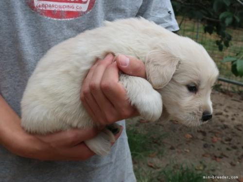 ゴールデンレトリバーの子犬(ID:1252511077)の2枚目の写真/更新日:2017-10-27