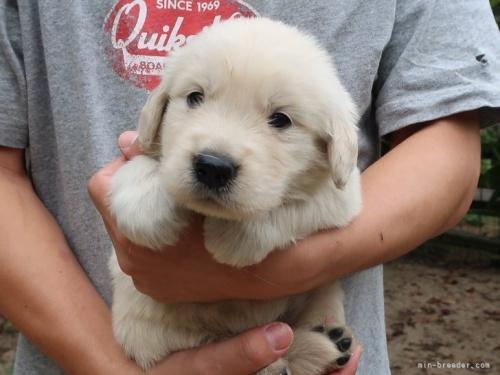 ゴールデンレトリバーの子犬(ID:1252511077)の3枚目の写真/更新日:2017-10-27