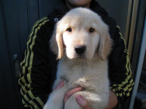 ゴールデンレトリバーの子犬(ID:1252511079)の1枚目の写真/更新日:2017-11-01