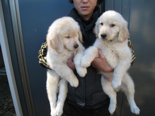 ゴールデンレトリバーの子犬(ID:1252511079)の2枚目の写真/更新日:2017-11-01