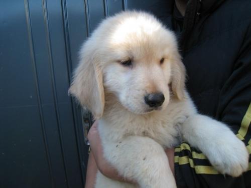 ゴールデンレトリバーの子犬(ID:1252511079)の3枚目の写真/更新日:2017-11-01