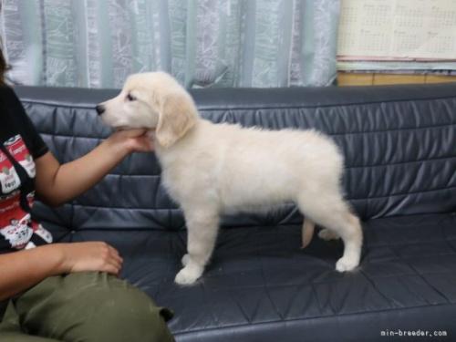 ゴールデンレトリバーの子犬(ID:1252511081)の3枚目の写真/更新日:2021-07-17