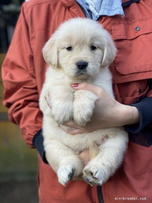 ゴールデンレトリバーの子犬(ID:1252511082)の1枚目の写真/更新日:2018-02-16