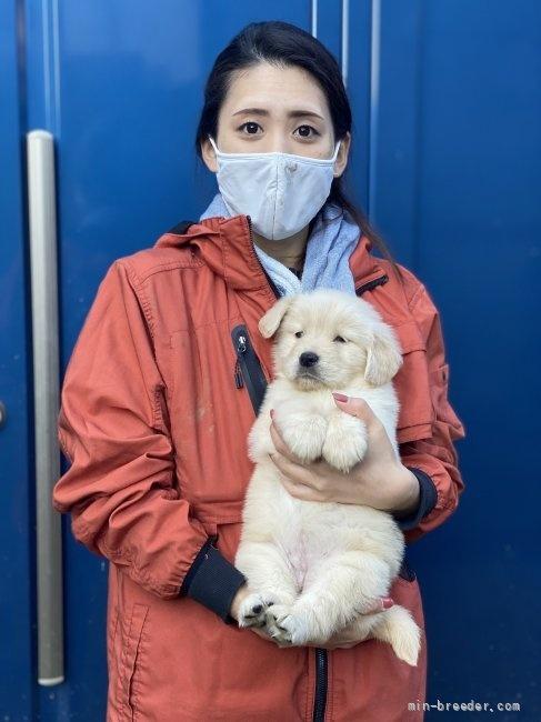 ゴールデンレトリバーの子犬(ID:1252511082)の2枚目の写真/更新日:2018-02-16