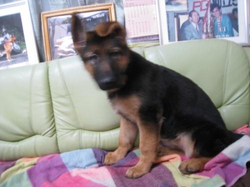 ジャーマン・シェパード・ドッグの子犬(ID:1252511083)の1枚目の写真/更新日:2018-02-22