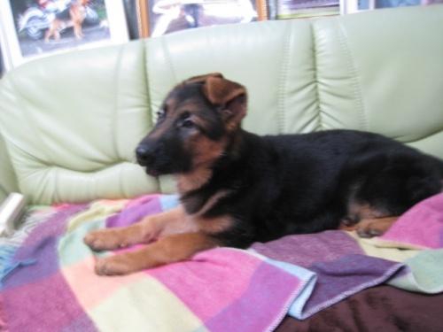 ジャーマン・シェパード・ドッグの子犬(ID:1252511083)の2枚目の写真/更新日:2018-02-22