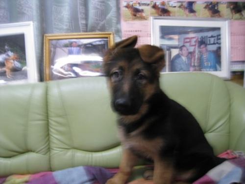 ジャーマン・シェパード・ドッグの子犬(ID:1252511083)の3枚目の写真/更新日:2018-02-22