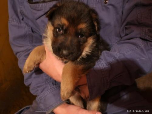 ジャーマン・シェパード・ドッグの子犬(ID:1252511085)の2枚目の写真/更新日:2018-03-23