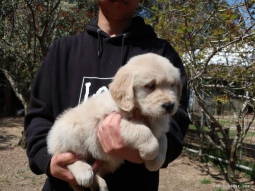 ゴールデンレトリバーの子犬(ID:1252511087)の2枚目の写真/更新日:2018-05-07