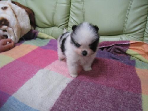 ポメラニアンの子犬(ID:1252511088)の3枚目の写真/更新日:2018-04-02