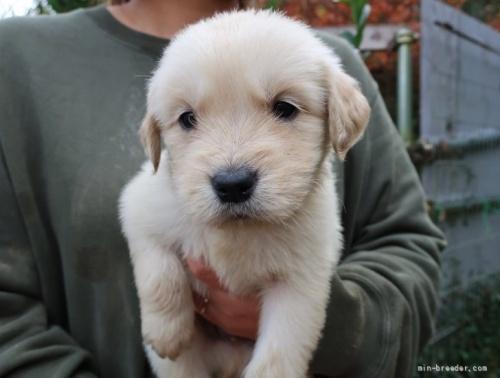 ゴールデンレトリバーの子犬(ID:1252511090)の1枚目の写真/更新日:2018-06-29