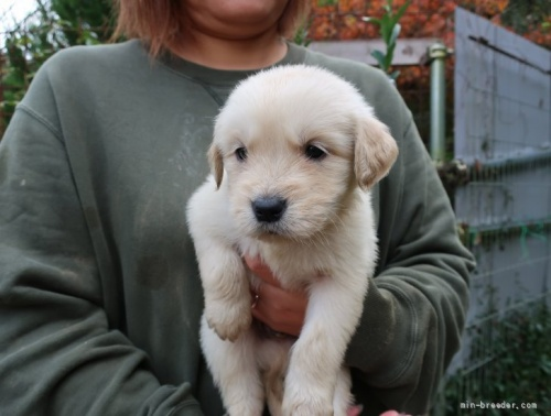 ゴールデンレトリバーの子犬(ID:1252511090)の2枚目の写真/更新日:2018-06-29