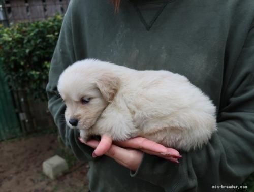 ゴールデンレトリバーの子犬(ID:1252511090)の3枚目の写真/更新日:2018-06-29