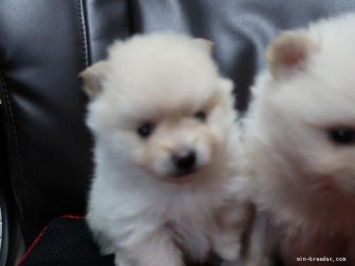 ポメラニアンの子犬(ID:1252511093)の2枚目の写真/更新日:2019-03-29