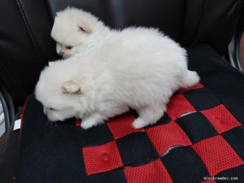 ポメラニアンの子犬(ID:1252511093)の3枚目の写真/更新日:2019-03-29