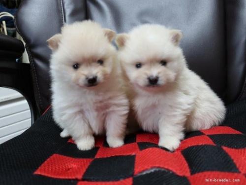 ポメラニアンの子犬(ID:1252511093)の4枚目の写真/更新日:2019-03-29