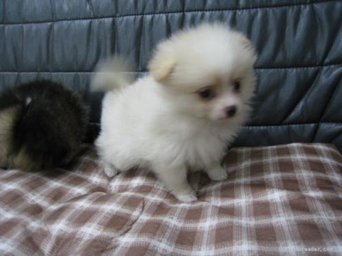 ポメラニアンの子犬(ID:1252511094)の1枚目の写真/更新日:2021-10-11