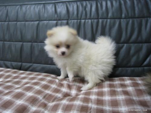 ポメラニアンの子犬(ID:1252511094)の3枚目の写真/更新日:2021-10-11