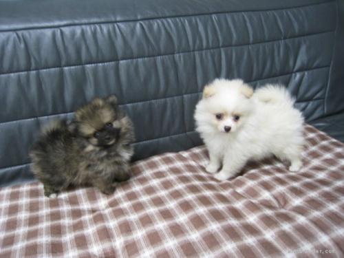 ポメラニアンの子犬(ID:1252511094)の4枚目の写真/更新日:2021-10-11