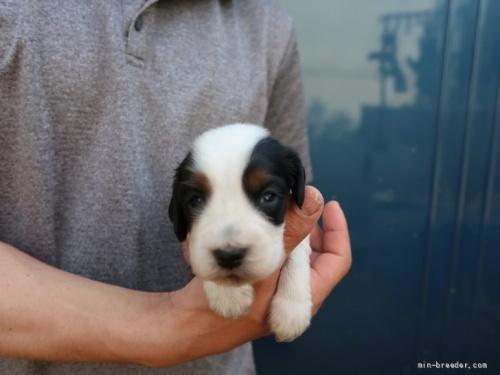イングリッシュコッカースパニエルの子犬(ID:1252511098)の1枚目の写真/更新日:2020-10-02