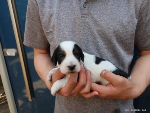 イングリッシュコッカースパニエルの子犬(ID:1252511098)の3枚目の写真/更新日:2020-10-02