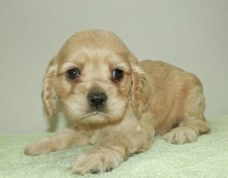 アメリカンコッカースパニエルの子犬(ID:1252911001)の1枚目の写真/更新日:2018-10-16
