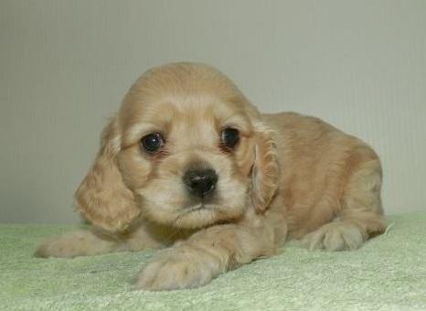 アメリカンコッカースパニエルの子犬(ID:1252911001)の2枚目の写真/更新日:2018-10-16