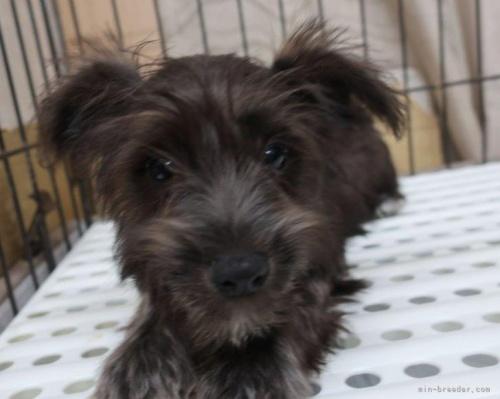 ミニチュアシュナウザーの子犬(ID:1252911002)の4枚目の写真/更新日:2018-08-20