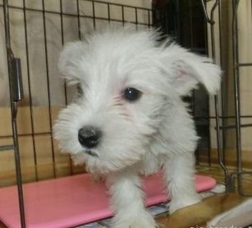 ミニチュアシュナウザーの子犬(ID:1252911003)の1枚目の写真/更新日:2019-03-14