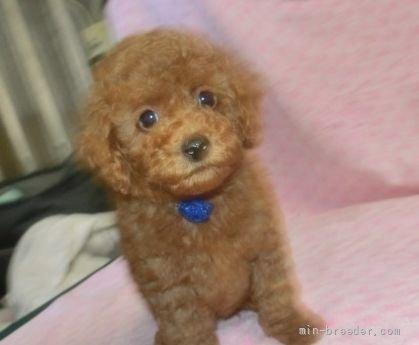 トイプードルの子犬(ID:1252911004)の1枚目の写真/更新日:2018-11-05