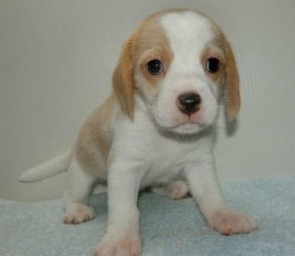 ビーグルの子犬(ID:1252911007)の1枚目の写真/更新日:2018-06-21