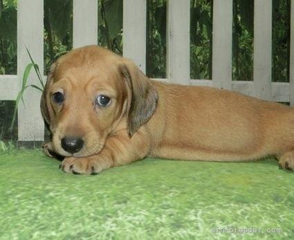 ミニチュアダックスフンド(スムース)の子犬(ID:1252911008)の4枚目の写真/更新日:2021-08-16