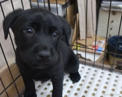 ラブラドールレトリバーの子犬(ID:1252911009)の2枚目の写真/更新日:2018-09-03