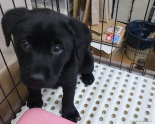ラブラドールレトリバーの子犬(ID:1252911009)の3枚目の写真/更新日:2018-09-03