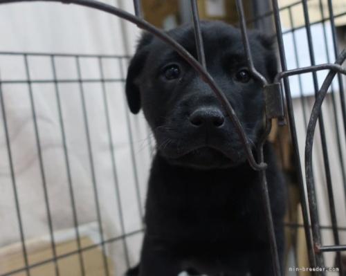 ラブラドールレトリバーの子犬(ID:1252911009)の4枚目の写真/更新日:2021-10-01
