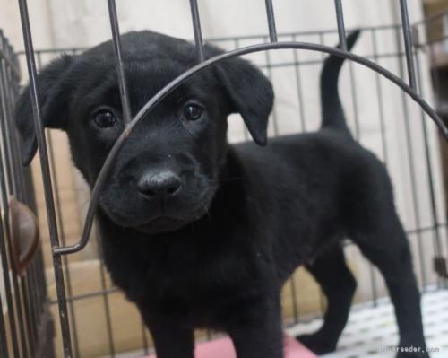 ラブラドールレトリバーの子犬(ID:1252911010)の3枚目の写真/更新日:2018-09-03