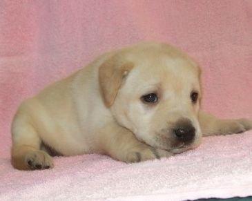ラブラドールレトリバーの子犬(ID:1252911012)の2枚目の写真/更新日:2020-05-04