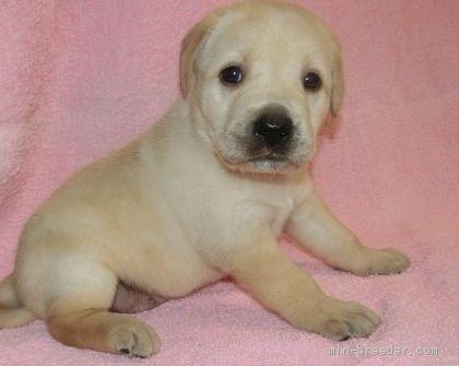 ラブラドールレトリバーの子犬(ID:1252911012)の3枚目の写真/更新日:2020-05-04