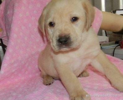 ラブラドールレトリバーの子犬(ID:1252911013)の1枚目の写真/更新日:2018-08-20