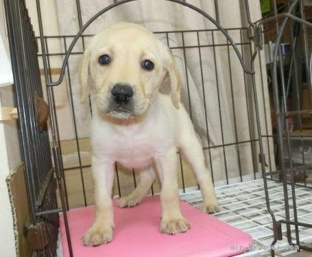 ラブラドールレトリバーの子犬(ID:1252911014)の1枚目の写真/更新日:2018-07-05