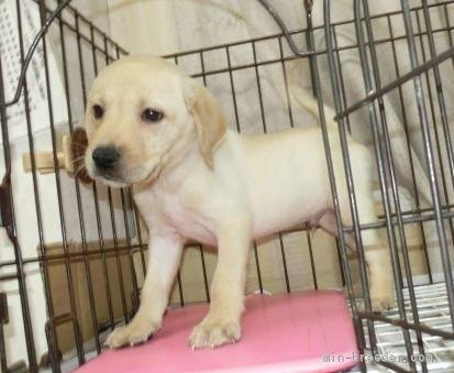 ラブラドールレトリバーの子犬(ID:1252911014)の2枚目の写真/更新日:2018-07-05
