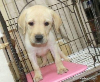 ラブラドールレトリバーの子犬(ID:1252911014)の4枚目の写真/更新日:2018-07-05